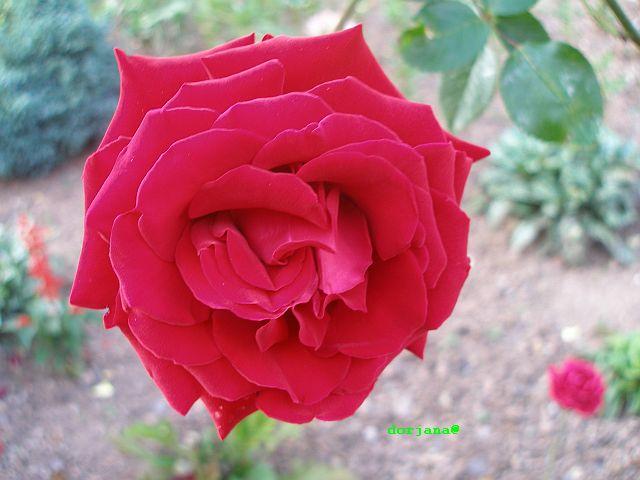 http://dorjana.unixstorm.org/galeria/obrazy/235348roza1.jpg